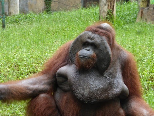 Jacky the orangutan, Bali Zoo