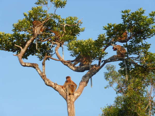 Wild proboscis monkeys on Sekonyer River