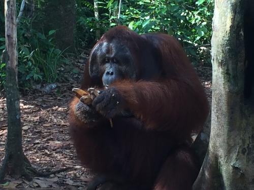 Roger, the orangutan, Tanjun Putin National Park